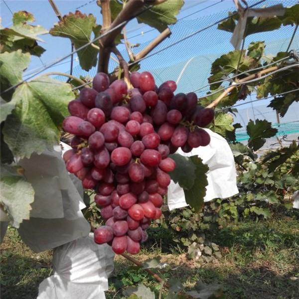 克伦生葡萄苗-- 红岐苗木|户太八号葡萄苗基地、核桃苗基地、苹果苗基地