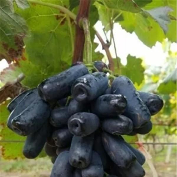 甜蜜蓝宝石葡萄苗-- 红岐苗木|户太八号葡萄苗基地、核桃苗基地、苹果苗基地