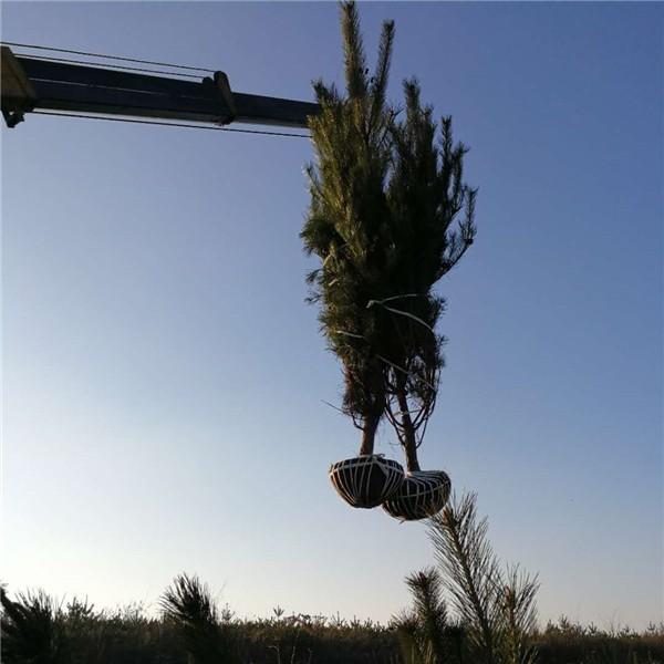 油松基地-- 陕西省绿博白皮松苗圃