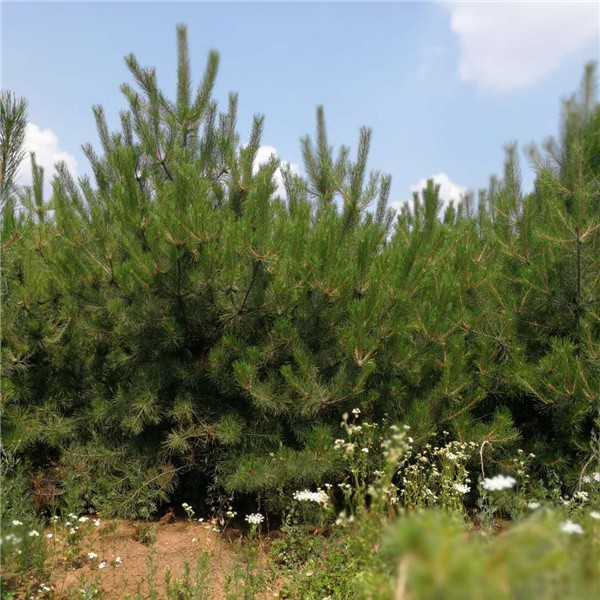 油松批发-- 陕西省绿博白皮松苗圃