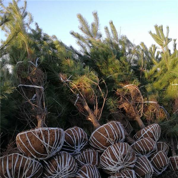 油松供应-- 陕西省绿博白皮松苗圃