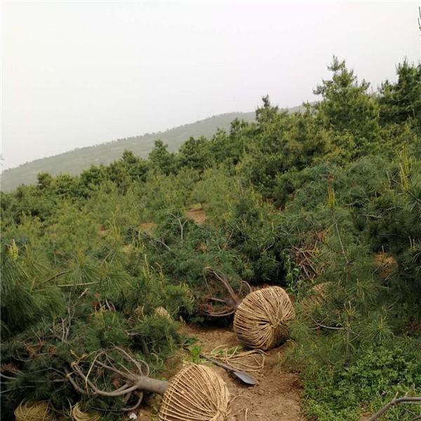 华山松供应-- 陕西省绿博白皮松苗圃