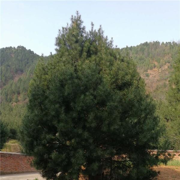 白皮松种植-- 陕西省绿博白皮松苗圃