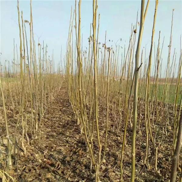 核桃树苗-- 杨凌佳伟葡萄种植专业合作社