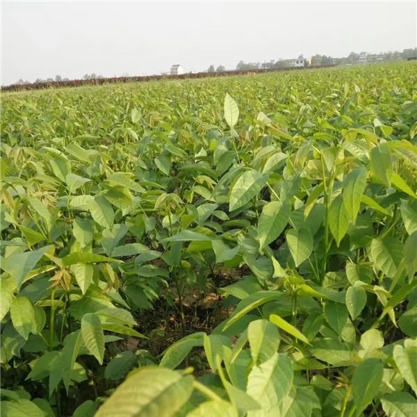 核桃苗-- 杨凌佳伟葡萄种植专业合作社
