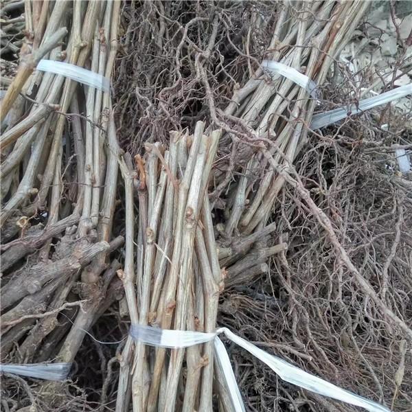扎捆葡萄苗-- 杨凌佳伟葡萄种植专业合作社