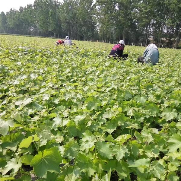 葡萄苗基地-- 杨凌佳伟葡萄种植专业合作社