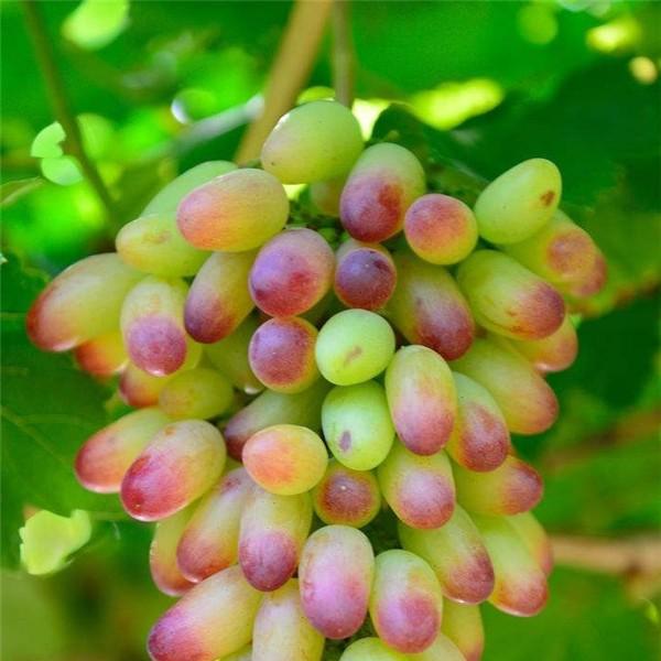美人指葡萄苗-- 杨凌佳伟葡萄种植专业合作社