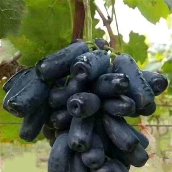 甜蜜蓝宝石葡萄苗-- 杨凌佳伟葡萄种植专业合作社