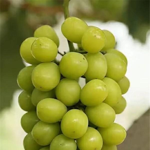 阳光玫瑰葡萄苗-- 杨凌佳伟葡萄种植专业合作社