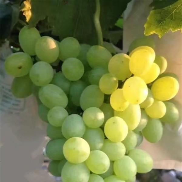 维多利亚葡萄苗-- 杨凌佳伟葡萄种植专业合作社