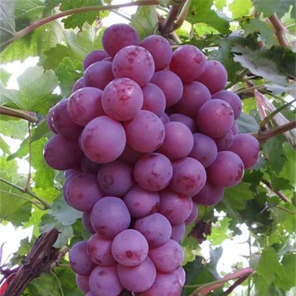 红提葡萄苗-- 杨凌佳伟葡萄种植专业合作社