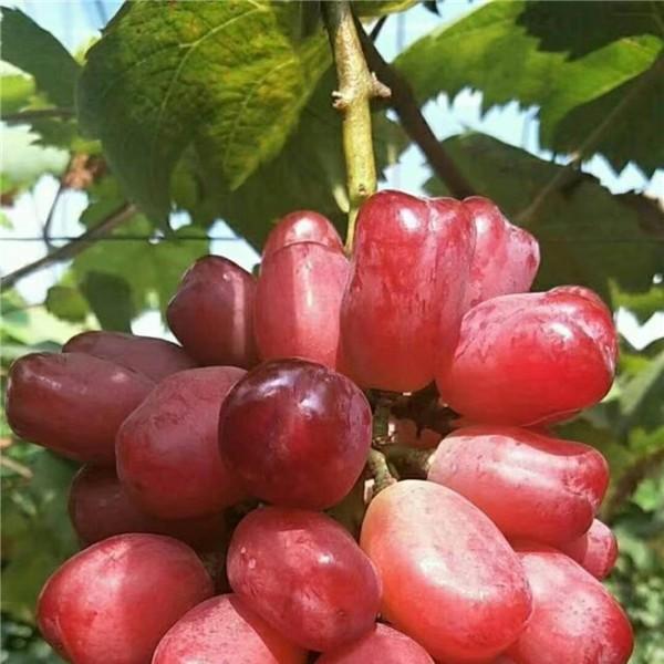 浪漫红颜葡萄苗-- 杨凌佳伟葡萄种植专业合作社