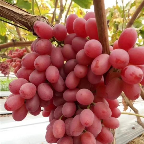 克伦生葡萄苗-- 杨凌佳伟葡萄种植专业合作社