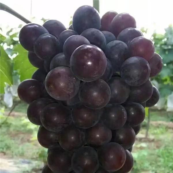 巨玫瑰葡萄苗-- 杨凌佳伟葡萄种植专业合作社