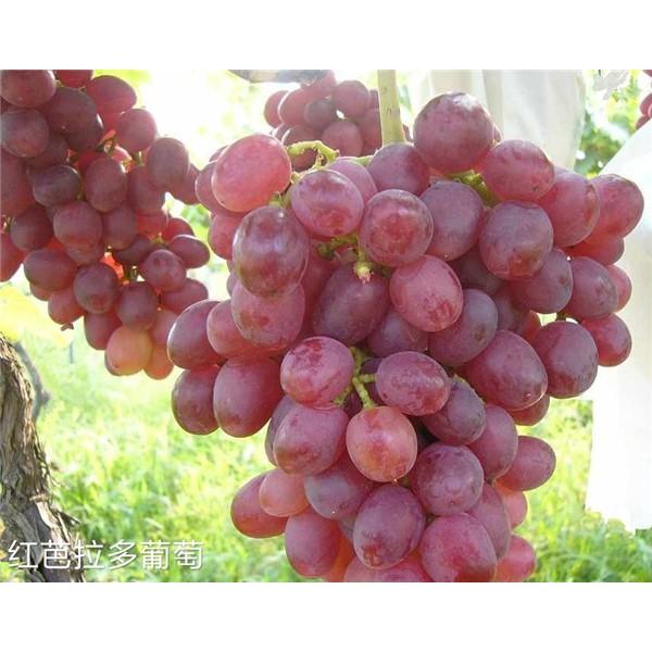 红巴拉多葡萄苗-- 杨凌佳伟葡萄种植专业合作社