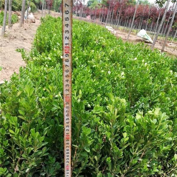 小叶黄杨-- 西安长绿园艺苗圃基地