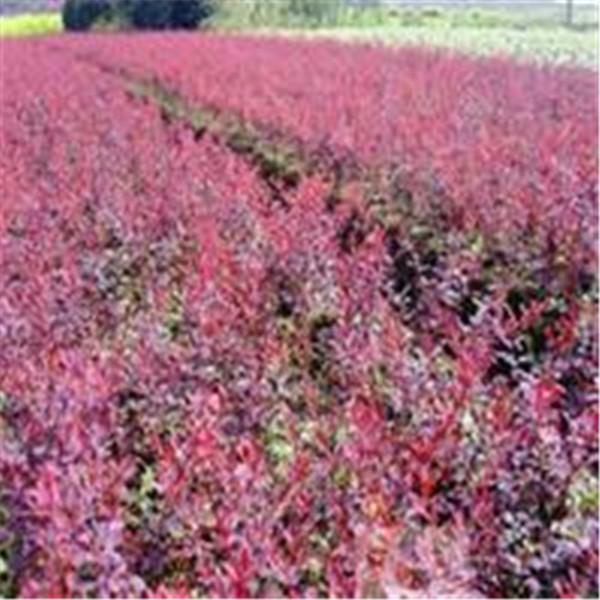 红叶小檗-- 西安长绿园艺苗圃基地