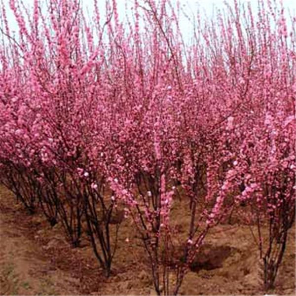 榆叶梅-- 西安长绿园艺苗圃基地