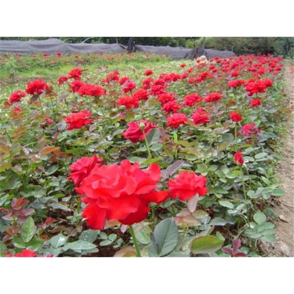 帖梗海棠-- 西安长绿园艺苗圃基地