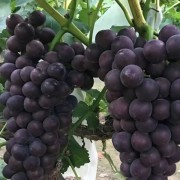 杨凌佳伟葡萄种植专业合作社