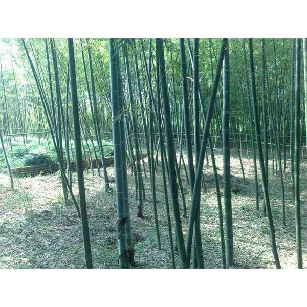 竹子-- 西安长绿园艺苗圃基地