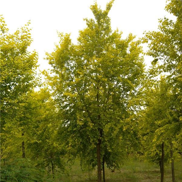金叶榆-- 西安长绿园艺苗圃基地