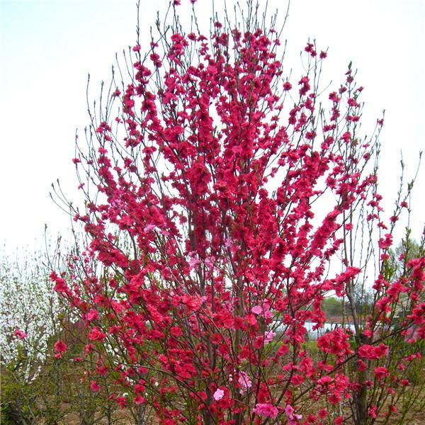 红叶碧桃-- 西安长绿园艺苗圃基地
