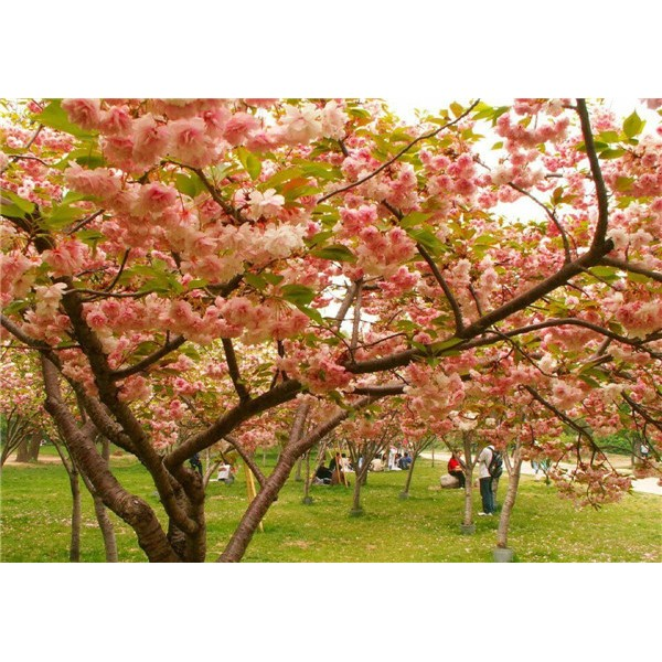 樱花-- 西安长绿园艺苗圃基地
