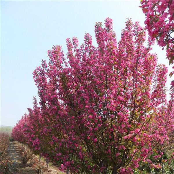 海棠-- 西安长绿园艺苗圃基地