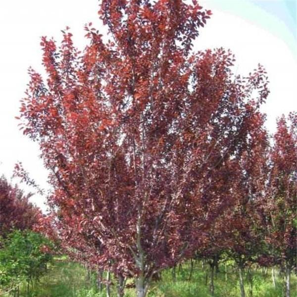 红叶李-- 西安长绿园艺苗圃基地