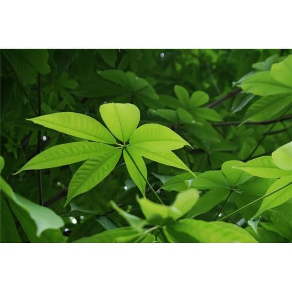 七叶树-- 西安长绿园艺苗圃基地