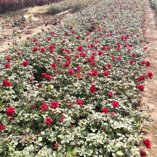 月季花-- 西安长绿园艺苗圃基地