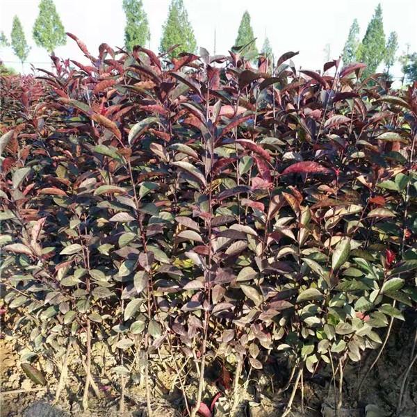 紫叶矮樱扦插苗 营养杯苗-- 永辉苗木