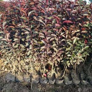 紫叶矮樱扦插苗 营养杯苗