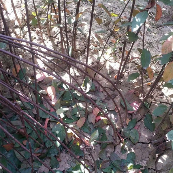 紫叶矮樱-- 永辉苗木