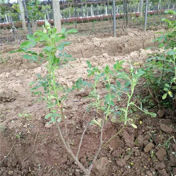 四季玫瑰 扦插苗 营养杯苗-- 永辉苗木
