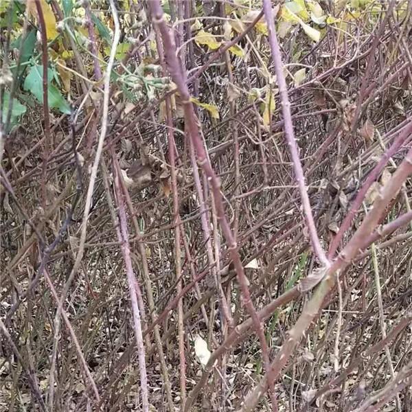 四季玫瑰(紫枝玫瑰)-- 永辉苗木