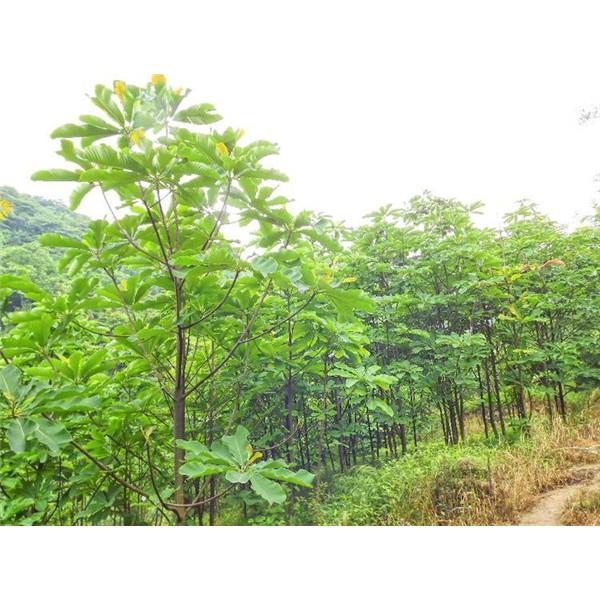 厚朴-- 陕西汉中远大苗木场