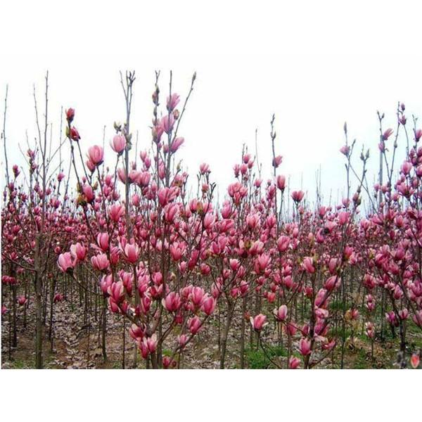 玉兰-- 陕西汉中远大苗木场