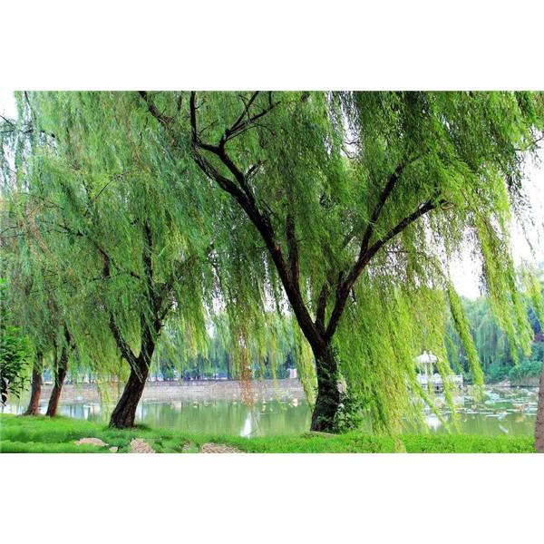 垂柳-- 陕西汉中远大苗木场