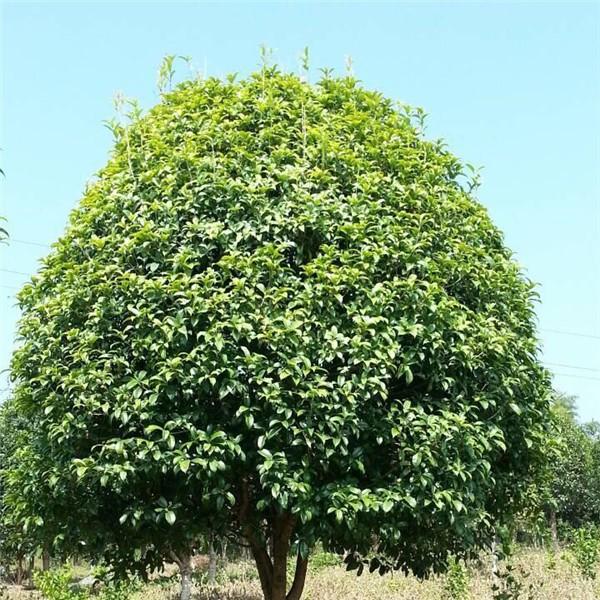 桂花-- 陕西汉中远大苗木场