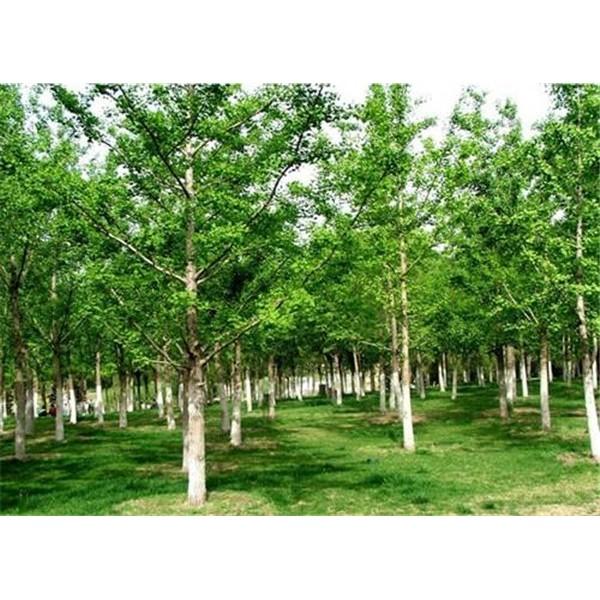 银杏-- 陕西汉中远大苗木场