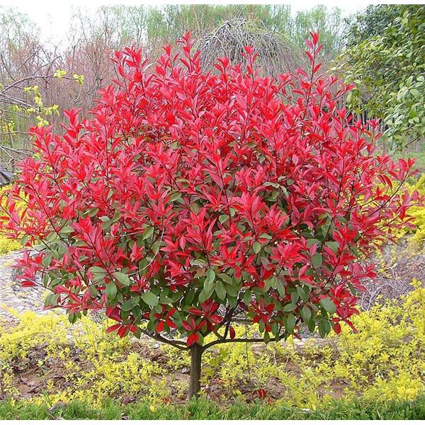 红叶石楠-- 陕西汉中远大苗木场