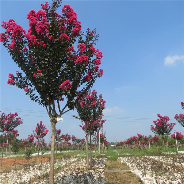 紫薇-- 陕西汉中远大苗木场