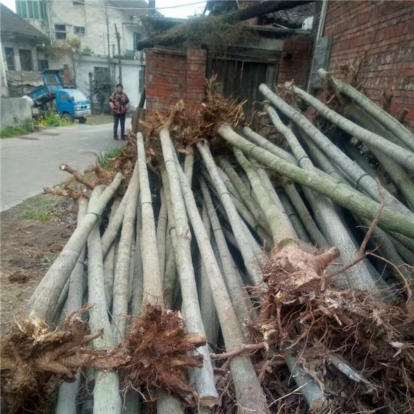 杜仲-- 陕西汉中远大苗木场