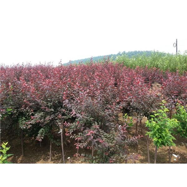 红叶李-- 陕西汉中远大苗木场