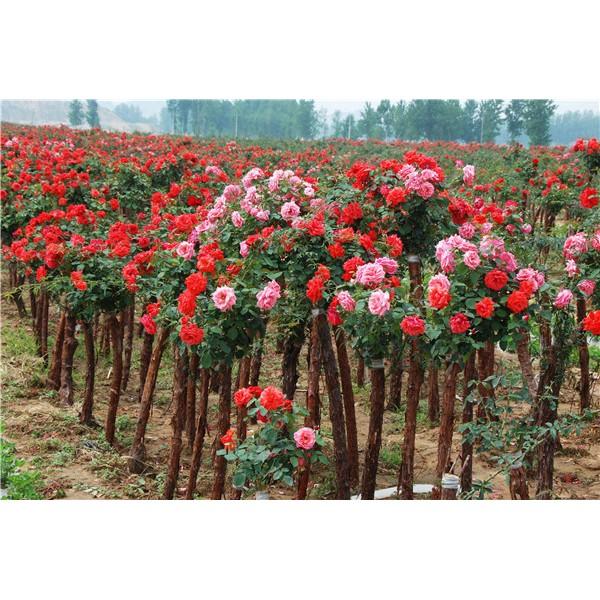树桩月季-- 陕西汉中远大苗木场