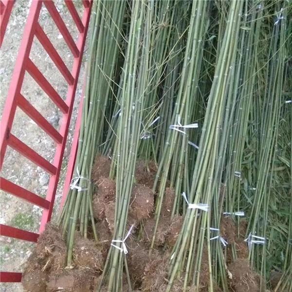竹子-- 陕西汉中远大苗木场
