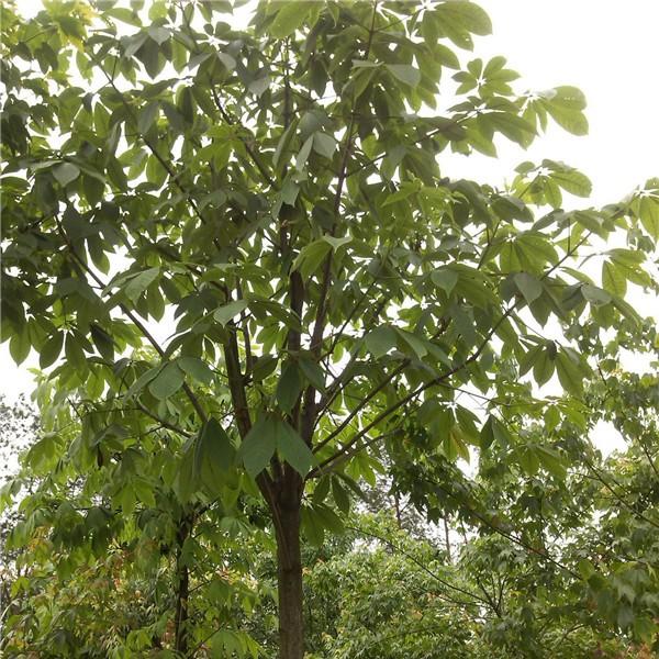 七叶树-- 陕西汉中远大苗木场